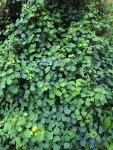 Mashua (hojas y tubérculos comestibles)