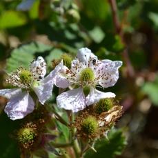 Flores de mora sin espinas