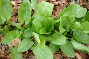 50-semillas-de-acedera-vinagrera-rumex-acetosa-p-ensaladas-s_668357-mla29809829830_042019-f