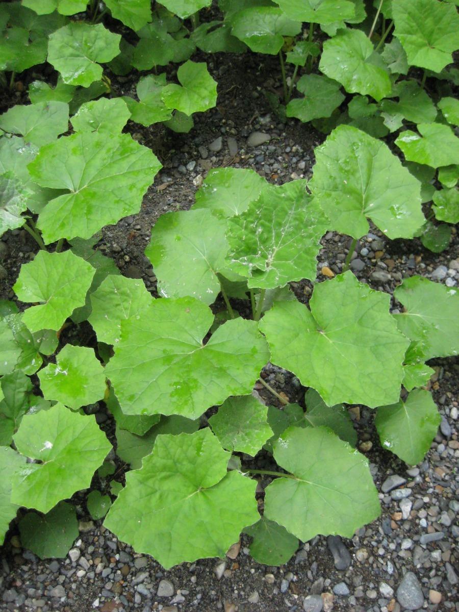 50-semillas-de-tussilago-farfara-incluido-el-envio-25000-d_nq_np_851857-mlm29924826303_042019-f