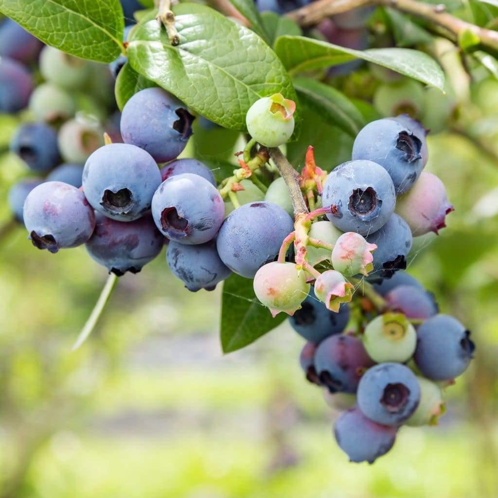 blueberry-northern-highbush-mix-vaccinium-corymbosum-seeds-amkha-seed_124