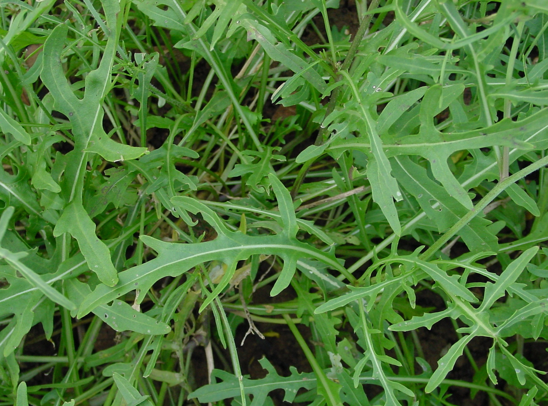 diplotaxis_tenuifolia_ip0209094