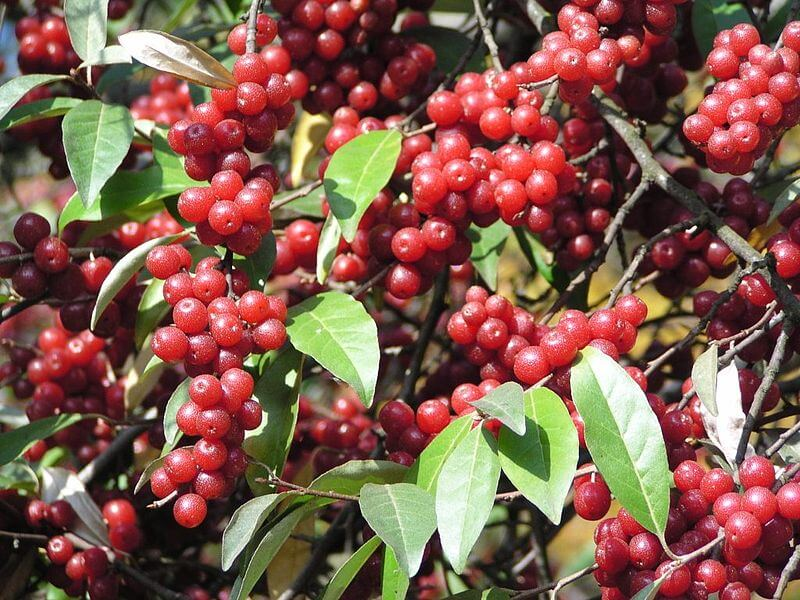 elaeagnus_umbellata_frucht