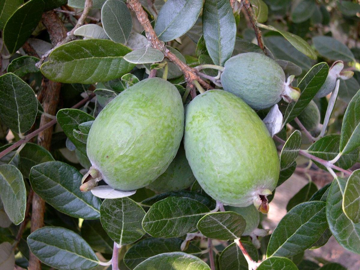 feijoa-planta-feijoas-guayaba-del-brasil-170cm-injertado-D_NQ_NP_256015-MLM25211863374_122016-F