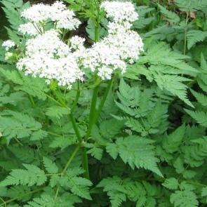 sweet-cicely_grande
