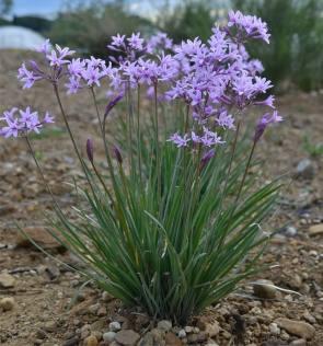 tulbaghia-violacea-envase-12m-flor-blancalila-d_nq_np_859201-mla20303640201_052015-f